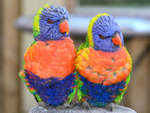 Pair of Rainbow Lorikeets Royalty Free Stock Photo