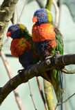 A pair of Rainbow Lorikeets Royalty Free Stock Photo