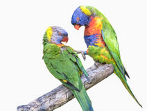 A pair of rainbow lorikeets Stock Images