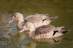 Pair of rare Bernier's Teal, Anas bernieri Royalty Free Stock Photo