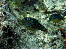 Pair of Rare Honeycomb Toby Puffer Fish Royalty Free Stock Photos
