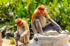 Pair of rare Proboscis Monkeys in the mangroves Royalty Free Stock Image