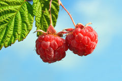 Pair of raspberry. With leaf on sky background Stock Photos