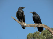 A pair of Ravens Stock Photography
