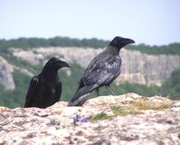 A pair of ravens on a mountain peak in the rays of the sun. Before the hunt royalty free stock photo