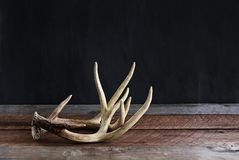 Pair of Real Deer Antlers. A pair of real white tail deer antlers over a rustic wooden table against a black background used by hunters when hunting to rattle in stock photos