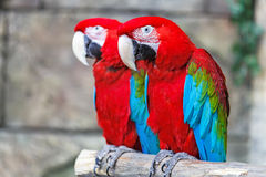 Pair of red ara parrots. Royalty Free Stock Images