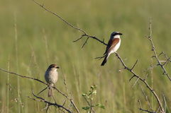 Pair of red backed shrike Royalty Free Stock Photo