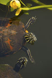 Pair of red-bellied turtles in Florida`s Everglades. royalty free stock image