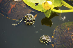 Pair of red-bellied turtles in Florida`s Everglades. stock photo