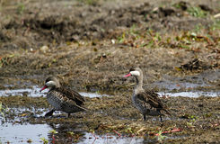 Pair of Red-billed Teal ducks Royalty Free Stock Photo