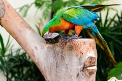A pair of red-and-blue macaws Stock Photo