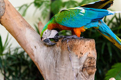 A pair of red-and-blue macaws Royalty Free Stock Image