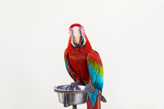 A pair of red-and-blue macaws Stock Images