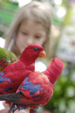 Pair of red and blue parrots. Young girl looking at a pair of red and blue parrots stock images
