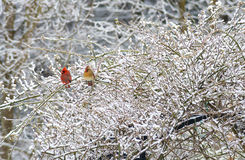 Pair of red Cardinal mates perch together in the snow. Royalty Free Stock Image