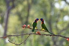 A Pair Of Red Collared Lorikeets royalty free stock photo