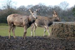Pair of Red deer in field Royalty Free Stock Photo