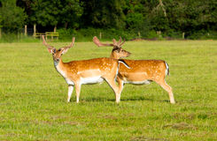 Pair of red deer Stock Photo