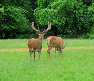 Pair of Red Deer Stags  in an English Park Stock Photos