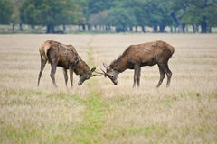 Pair of red deer stags jousting in Autumn Fall Royalty Free Stock Photo