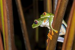Pair of Red Eyed Tree Frogs Mating Close Up Profile stock photos