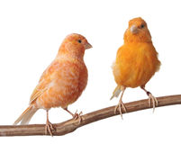 Pair Of Red Factor Canaries Royalty Free Stock Photos