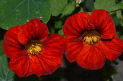 Pair red flowers of nasturtium Royalty Free Stock Image