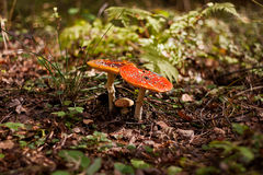 A pair of red fly agaric. Stock Photos