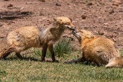 Red Foxes. A pair of red foxes playing with each other Stock Image