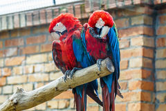 Pair red-and-green macaw Royalty Free Stock Image