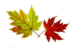 Pair of Red and Green Maple Leaves Backlit Stock Images
