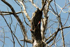 A pair of red head wood peckers building the nest stock photos