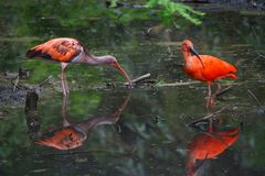 Pair of red Ibis in the river looking for food Stock Photos