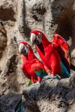 Pair of red Macaw Ara Macao. Chloropterus parrots sitting on a stone looking in the same direction royalty free stock photography