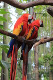 Pair of Red Macaw Parrots Royalty Free Stock Photos