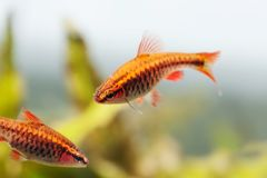 Pair red orange exotic aquarium fishes macro view. Puntius titteya male female barb swimming. Aquatic nature still life. Scene. Shallow depth of field Royalty Free Stock Images