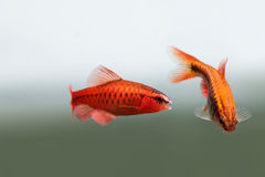 Pair red orange exotic aquarium fishes macro view. Puntius titteya male female barb swimming. Aquatic nature still life Royalty Free Stock Photo