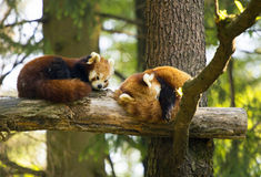 Pair of red pandas. Stock Photography