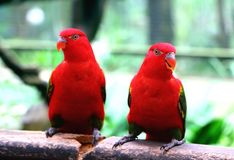 Pair of Red Parrot Stock Photos