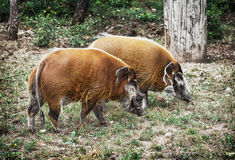 Pair of Red river hog (Potamochoerus porcus), animal scene Stock Images