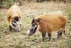 Pair of Red river hog (Potamochoerus porcus) Stock Image