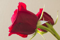 Pair of red roses stock image