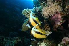 Pair of Red Sea Bannerfish Royalty Free Stock Images