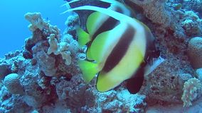 Pair of red sea bannerfish in tropical sea on coral reef. Pair of red sea bannerfish heniochus intermedius swimming on in tropical sea by hard coral reef stock footage