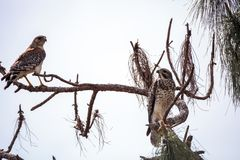 Pair of Red shouldered Hawk birds Buteo lineatus. Near their nest in the CREW Corkscrew Sanctuary of Naples, Florida Royalty Free Stock Photo