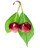 Pair of red wet cherry fruit on stem Stock Images