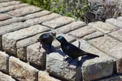 Pair of red winged starlings fighting for a locust Stock Images