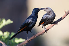 Pair of red winged starlings wit on a branch Royalty Free Stock Image