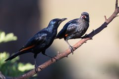 Pair of red winged starlings wit on branch busy with courtship Royalty Free Stock Image